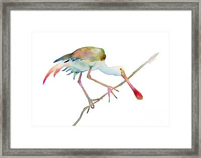 Spoonbill  Framed Print by Amy Kirkpatrick