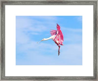 Spoonbill Ballet Framed Print by Mark Andrew Thomas