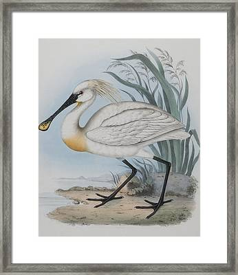 Spoonbill Framed Print by John Gould