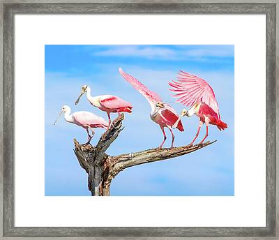 Spoonbill Party Framed Print by Mark Andrew Thomas
