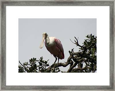 Spooned Bill Bird Framed Print by Ruben  Flanagan