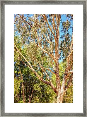 Framed Print featuring the photograph Spot The Koala, Yanchep National Park by Dave Catley