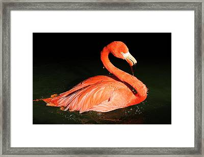 Spotlight On A Bathing Flamingo Framed Print