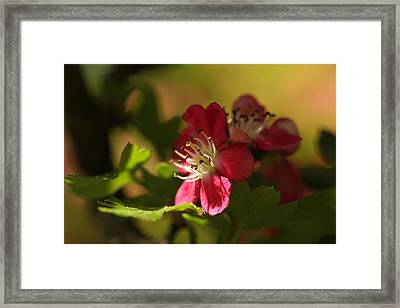 Spotlight On Hawthorn Framed Print by Connie Handscomb