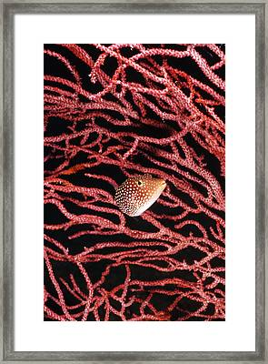 Spotted Boxfish Hides In Red Sea Fan Framed Print by James Forte