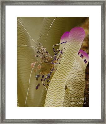 Spotted Cleaner Shrimp On Pink Tipped Framed Print by Brent Barnes