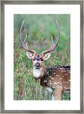 Spotted Deer Axis Axis, Kanha National Framed Print