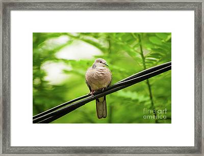 Spotted Dove   Framed Print