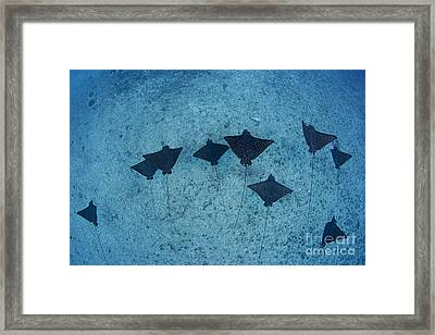 Spotted Eagle Rays Framed Print