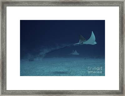 Spotted Eagle Rays Glide Effortlessly Framed Print by Terry Moore