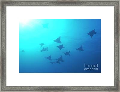 Spotted Eagle Rays Framed Print by Sami Sarkis