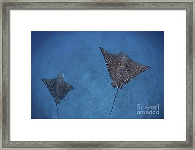 Spotted Eagle Rays Swim Framed Print by Ethan Daniels