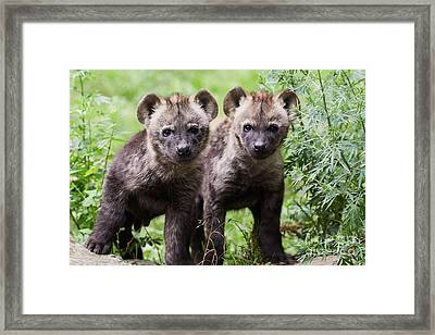 Framed Print featuring the photograph Spotted Hyena Cubs I by Nick Biemans