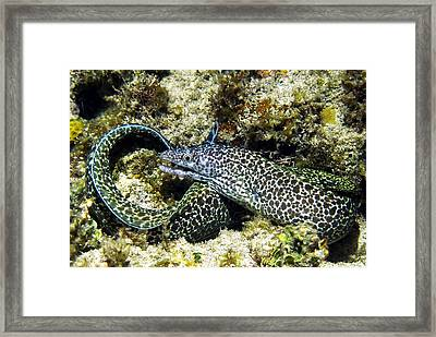 Spotted Moray Eel Framed Print by Amy McDaniel