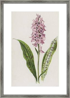 Spotted Orchis Framed Print