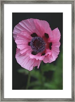 Spotted Pink Poppy Framed Print