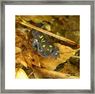 Spotted Salamander Framed Print