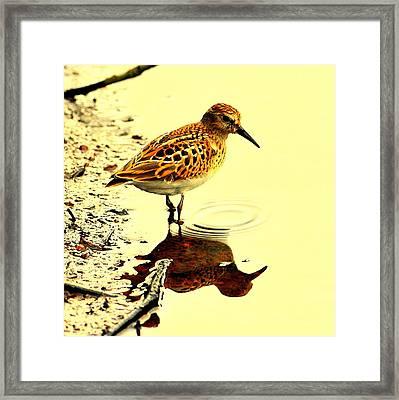Spotted Sandpiper Framed Print
