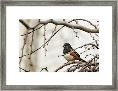 Spotted Towhee Framed Print by Belinda Greb