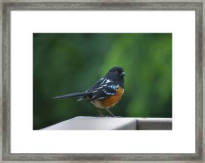 Spotted Towhee Framed Print by Linda Dunn