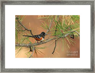 Spotted Towhee Framed Print by Beve Brown-Clark Photography