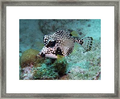Spotted Trunkfsh Framed Print by Jean Noren