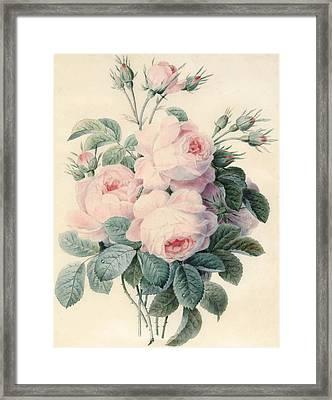 Spray Of Centifolia Roses Framed Print by J Herzog
