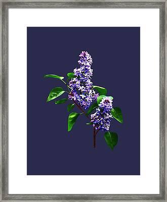 Spray Of Lilacs Framed Print