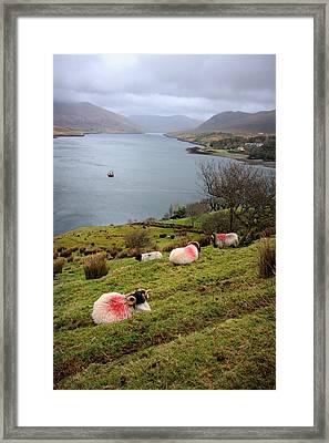 Spray Painted Sheep Ireland Framed Print by Pierre Leclerc Photography