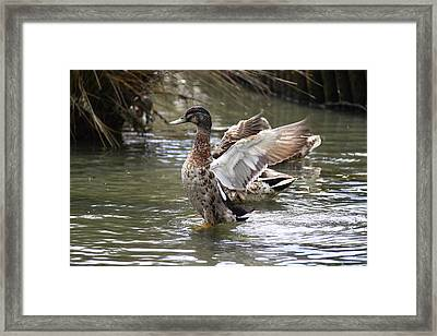 Spread You Wings Framed Print by Stephen Athea