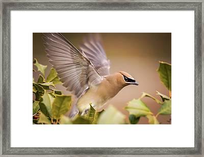 Spread Your Wings Cedar Waxwing  Framed Print