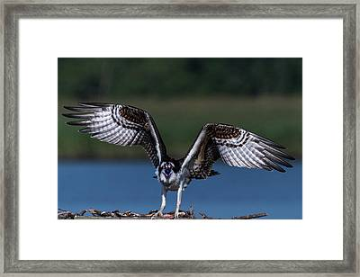 Framed Print featuring the photograph Spread Your Wings by Cindy Lark Hartman