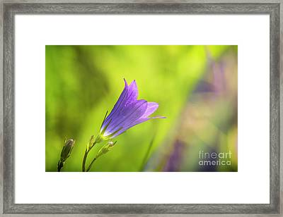 Spreading Bellflower Framed Print