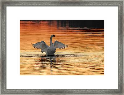 Spreading Her Wings In Gold Framed Print by Randall Branham