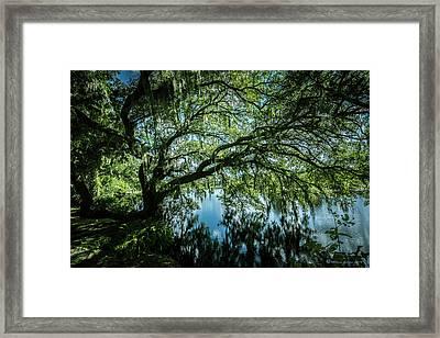 Spreading Oak Framed Print by Marvin Spates