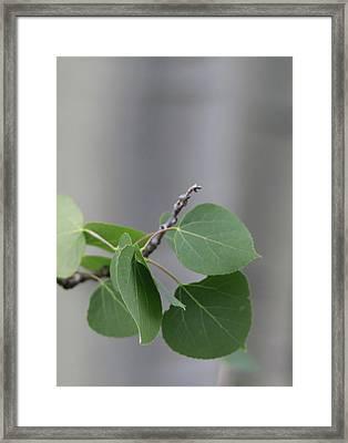 Spring Aspen Leaves Framed Print by Dan Sproul