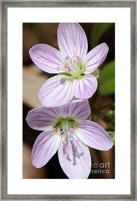 Spring Beauty Framed Print by Anita Oakley
