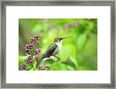Spring Beauty Ruby Throat Hummingbird Framed Print by Christina Rollo