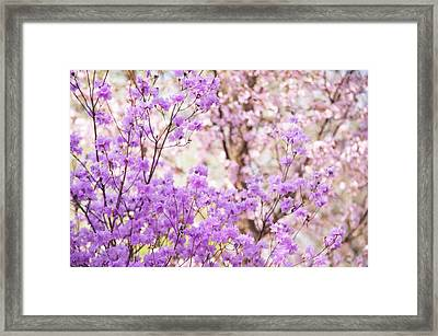 Framed Print featuring the photograph Spring Bloom Of Rhododendron  by Jenny Rainbow