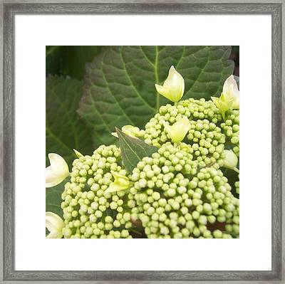 Spring Blooms Framed Print by Anna Villarreal Garbis