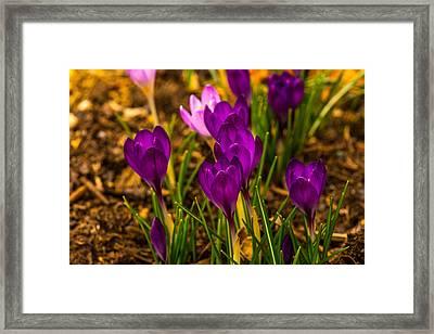 Spring Blooms Framed Print by Karol Livote