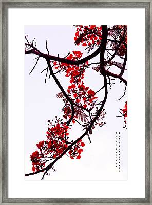 Spring Bloosom In Maldives. Flamboyant Tree Framed Print by Jenny Rainbow