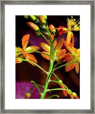 Spring Blossoms 3 Framed Print by Stephen Anderson