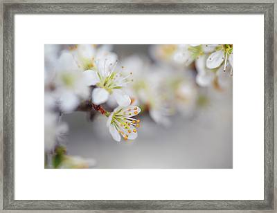 Spring Blossoms Framed Print by Nailia Schwarz