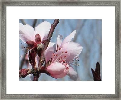 Spring Blossoms  Framed Print by Rosalie Klidies
