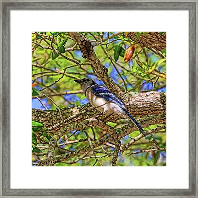 Spring Blue Jay Framed Print by HH Photography of Florida