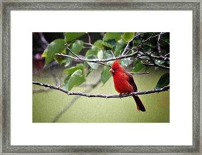 Spring Cardinal Framed Print by Lana Trussell
