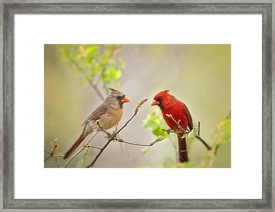 Spring Cardinals Framed Print