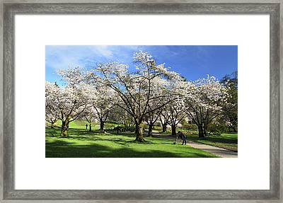 Spring Cherry Blossoms In Stanley Park Vancouver  Framed Print by Pierre Leclerc Photography
