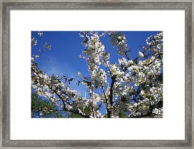 Spring Cherry Blossoms Framed Print by Mary Gaines